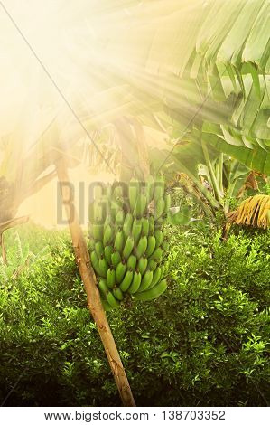Banana penca recorded during sunset in rural area