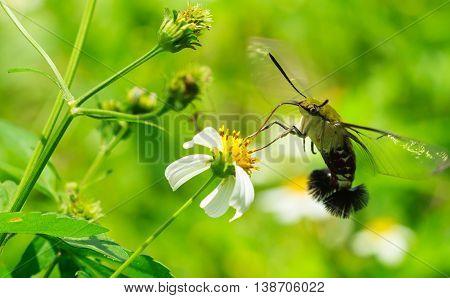 Hemaris fuciformis sphingidae moth, known as bee Hawk-moth, enjoying the nectar of a white and yellow flower. Hummingbird moth.