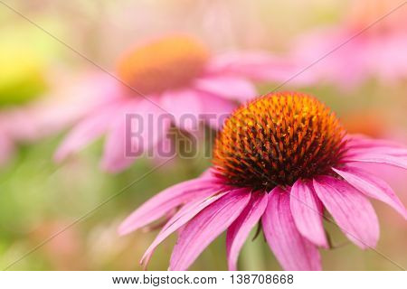 Purple Coneflower,Closeup.