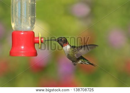 Male Ruby-throated Hummingbird (archilochus colubris) in flight at a feeder with a colorful background