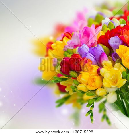 Fresh freesia flowers and buds posy close on violet background