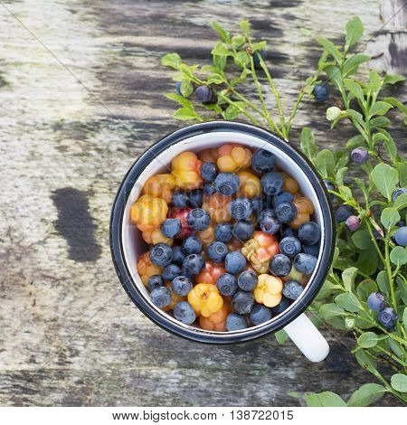 White enamel mug on wooden gray background in a forest full of ripe cloudberry northern and juicy blueberries. The concept of healthy organic natural seasonal food.