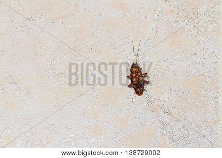 the dead cockroach with cockroach eggs on the floor