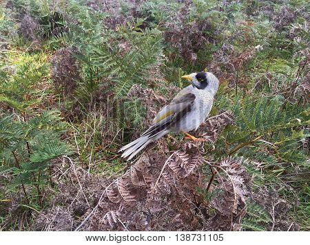 Noisy Miner Bird Tasmanianoisy Miner Bird Tasmania