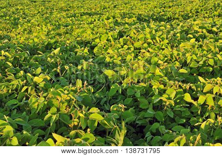 Field of soybean on a bright sunny day