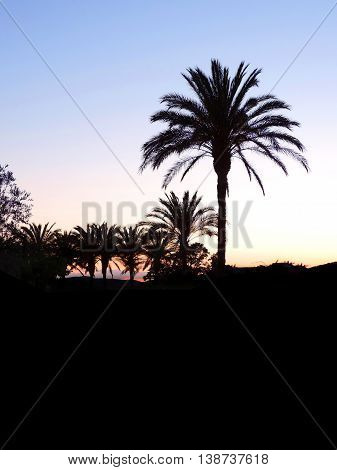 Palm garden by night or after sunset. Palm sillhouettes.