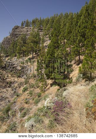 Central Gran Canaria in July dry grasses and Canarian Pine trees