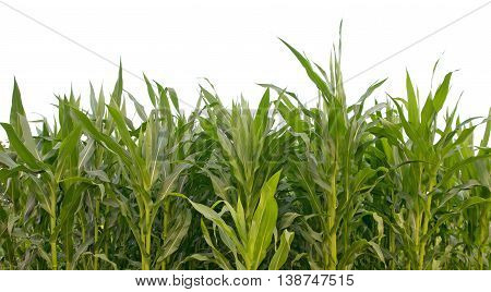 corn field isolated on white. A close up