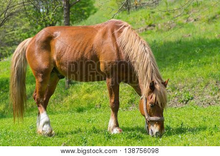 Portrait of draft horse on a spring pasture.