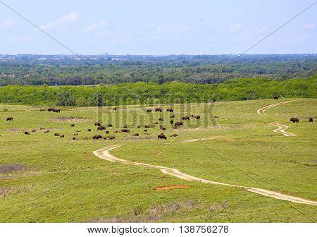 CANTON, KANSAS, USA - MAY 17, 2015: Grazing buffalo in Maxwell Wildlife Refuge near Canton.