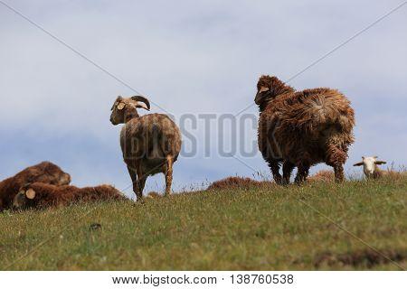 group of sheep walking on mountain top
