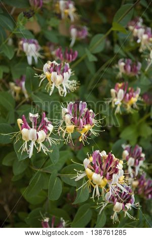 Lonicera periclymenum, common names honeysuckle, common honeysuckle, European honeysuckle or woodbine.