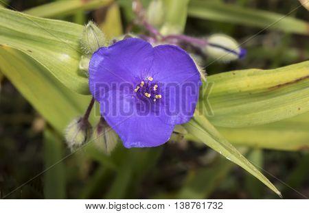 Purple Prairie Spiderworts, (tradescantia Occidentalis) Flower, Close Up