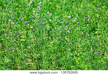 Alfalfa Medicago sativa, also called lucerne, is a perennial flowering plant in the pea family