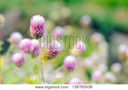 Globe Amaranth Flower (Also known as Amaranthus Tampala Tassel Flower Flaming Fountain Fountain Plant Joseph's Coat Love-lies-bleeding Amaranth Molten Flower Prince's Feather and Summer Poinsettia) poster