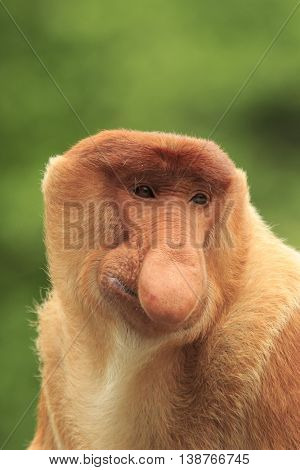 Proboscis Monkey adult male portrait