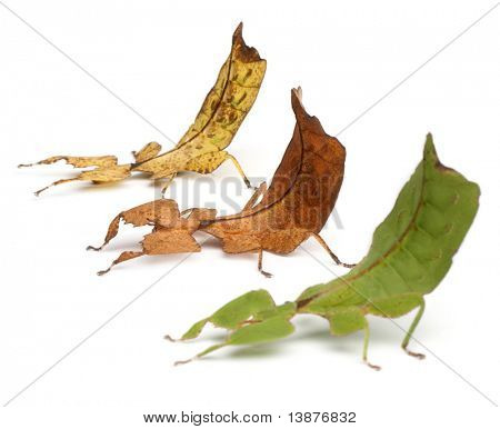 Phyllium Westwoodii, three stick insects, in front of white background poster