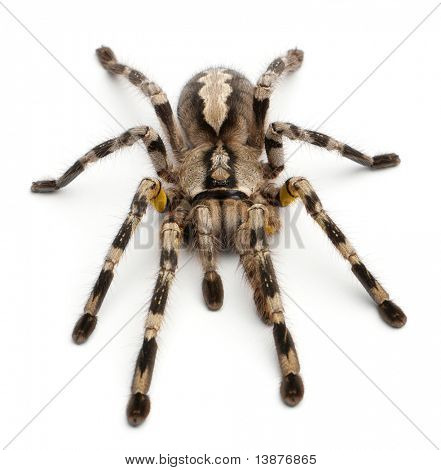 Tarantula spider, Poecilotheria Fasciata, in front of white background poster