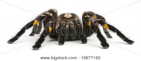 Tarantula spider, Poecilotheria Metallica, in front of white background poster