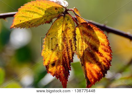 Close up from golden autum foliage in nature