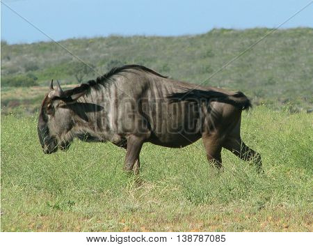 Blue Wildebeest, koeburg Nature Reserve, Cape Town South Africa