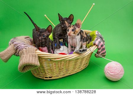 Three kittens Cornish Rex in the basket of knitting on a green background