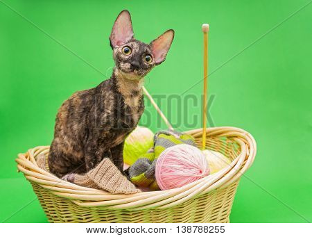 Cat Cornish Rex in the basket of knitting on a green background