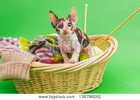 Kitten Cornish Rex in the basket of knitting on a green background