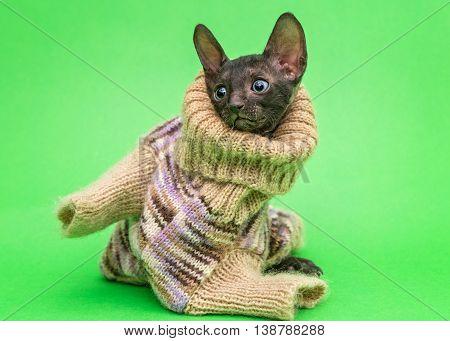 Little kitten Cornish Rex cat in a knitted sweater