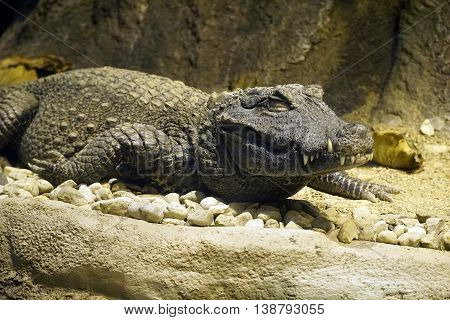 An African dwarf crocodile (Osteolaemus tetraspis) lies motionless with eyes closed
