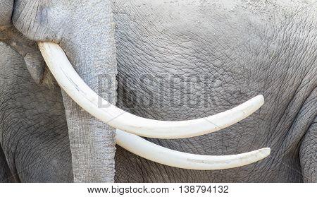 Asian Elephant (elephas Maximus) Tusks Close-up