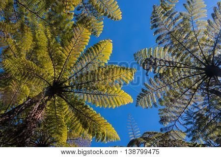 wide angle view of silver fern trees