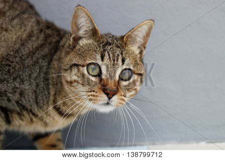cat animal nature wild look withe grey