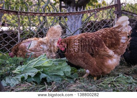 Hens feed on the traditional rural barnyard. Chicken standing on barn yard with the chicken coop. Free range poultry farming