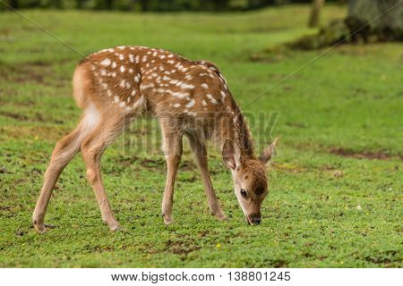 closeup of grazing sika deer fawn in woodland