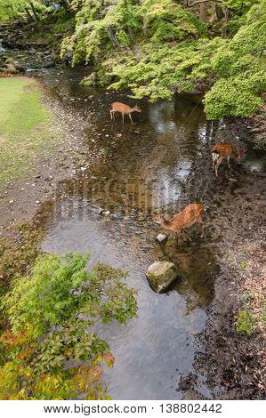 aerial view of sika deer drinking water in woodland