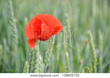 Red poppy (Papaver rhoeas) in wheat field on spring time. Corn rose, common poppy, Flanders poppy, coquelicot, red weed