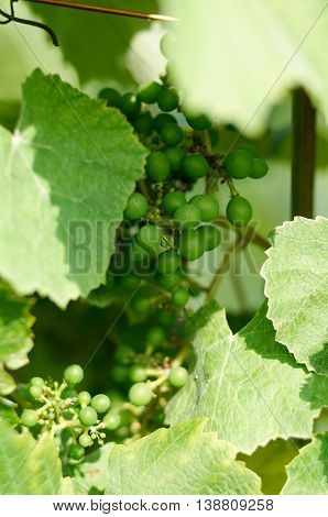 Young inflorescence of grapes on the vine close-up. Grape vine with young leaves and fruit blooming on a grape vine in the vineyard. Spring buds sprouting.Sprout of Vitis vinifera grape vine