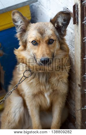 Mixed breed watchdog on a chain in a dog kennel in a daylight.The dog in the village