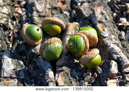 Acorns on oak bark in the woods on a sunny day