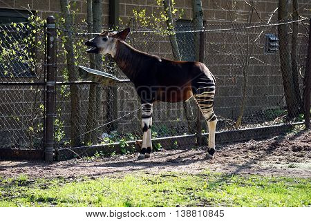 An okapi (Okapia johnstoni) stands beside a chain link fence.