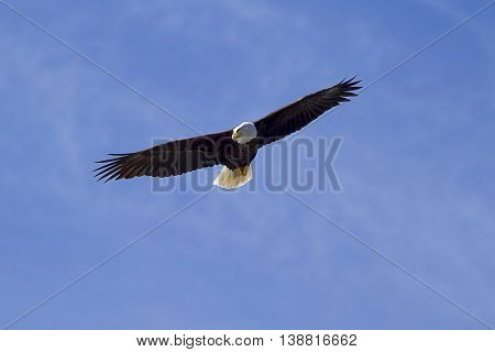 Eagle soaring in sky searching for food in western Washington.