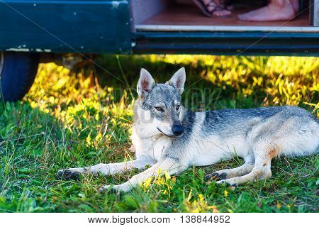 domesticated wolf dog resting relaxed on a meadow in shadow of caravan car. Czechoslovakian shepherd poster