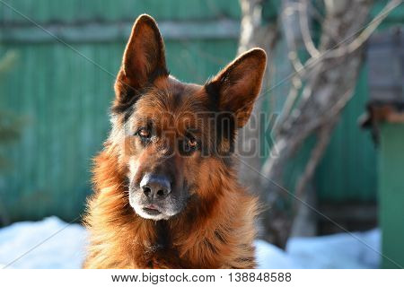 German Shepherd head closeup. Dog listening to the host team