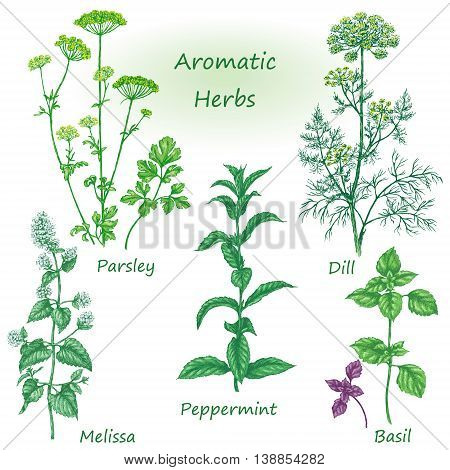Hand drawn floral elements. Aromatic herbs set. Sketch of medicinal fragrant plants and spices. Colored image of dill mint parsley basil melissa peppermint isolated on white.