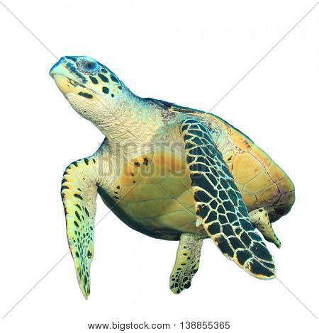 Hawksbill Turtle isolated white background