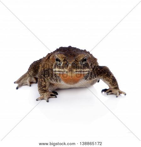 Asian common toad, Duttaphrynus melanostictus, isolated on white background
