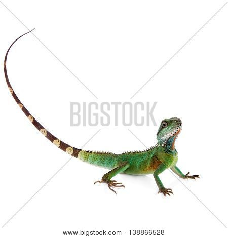 The Australian water dragon, Intellagama or Physignathus lesueurii which includes the eastern water dragon isolated on white background