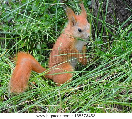 Carroty squirrel sitting under tree in thick wet grass in rainy weather