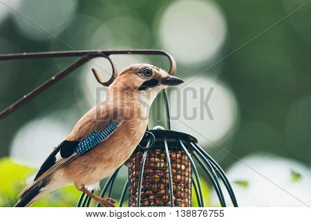 Eurasian Jay (garrulus Glandarius) Adult, Perched On Iron Bar Of Hanging Feeder, Leiden, The Netherl
